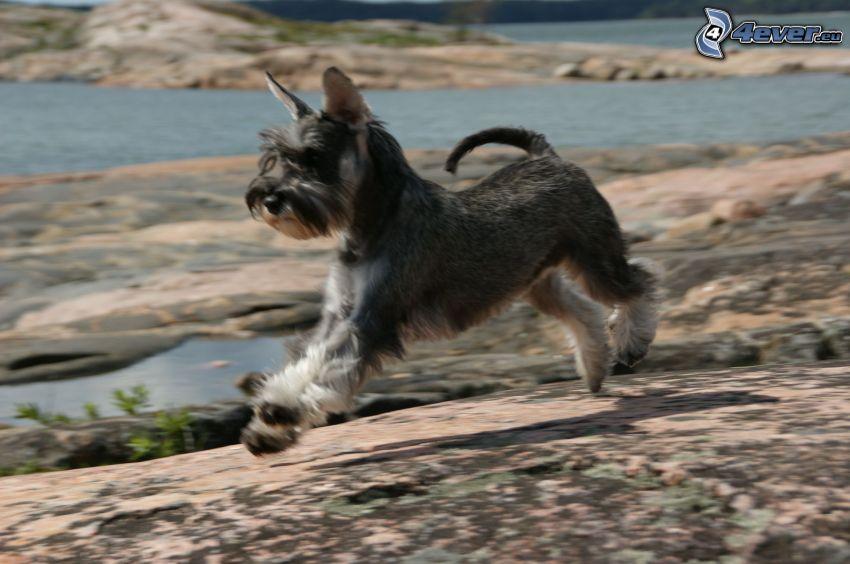 miniature schnauzer, running, lake