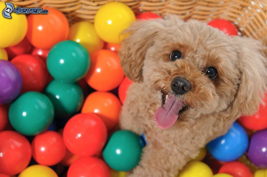 poodle, colored balls
