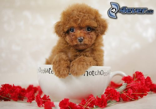 poodle, cup, flowers