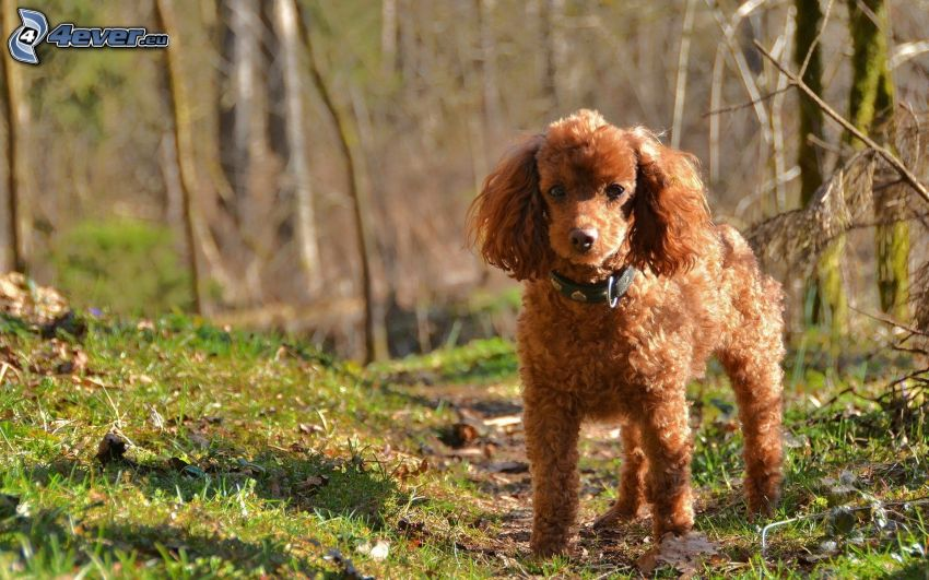 poodle, forest path