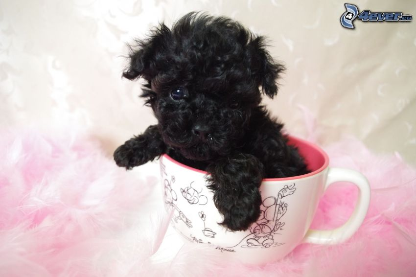 poodle, puppy, cup