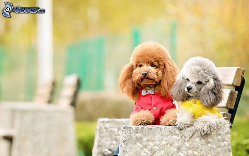poodles, benches