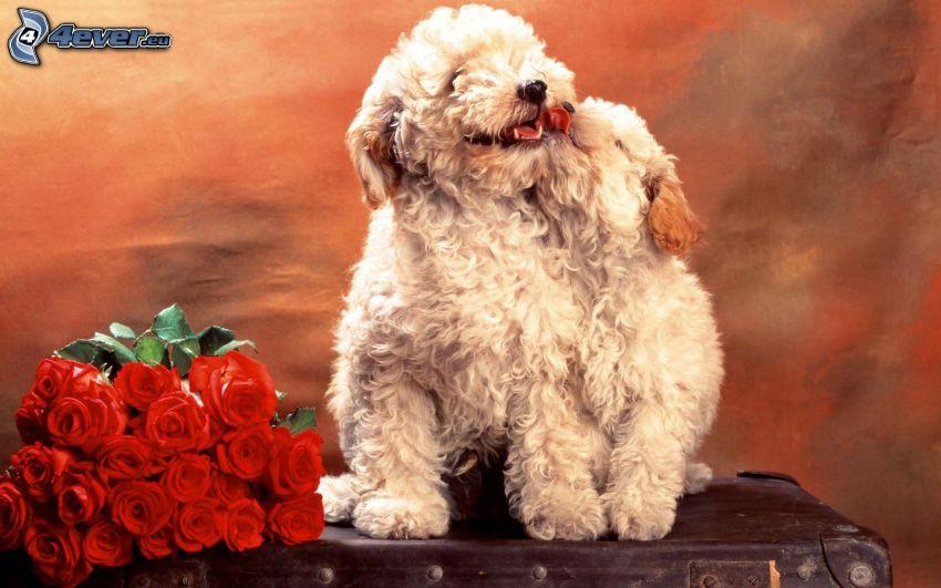 poodles, bouquet of roses