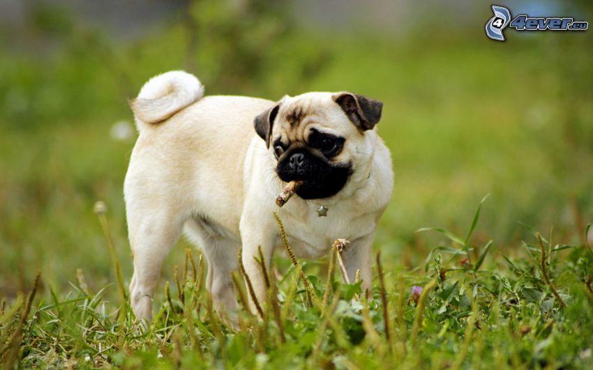 pug, sticks, grass