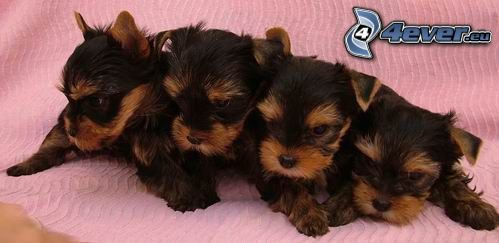 puppies, terrier