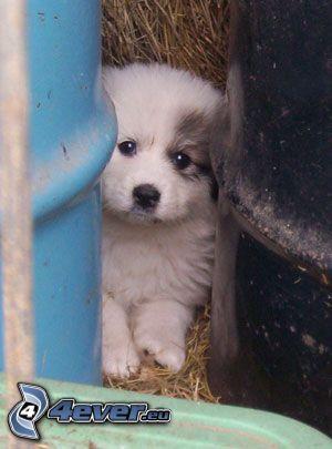 puppy, barrels