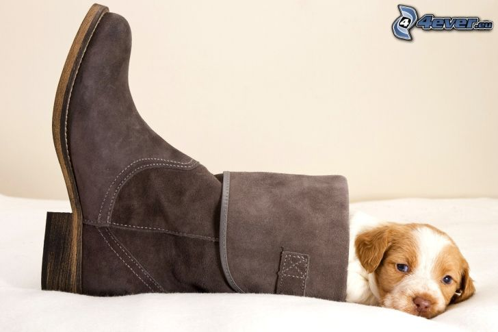 puppy, boots