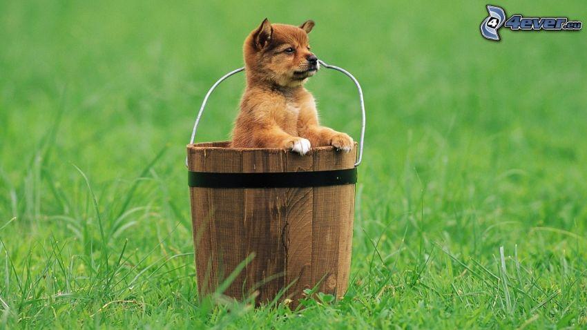 puppy, bucket, lawn
