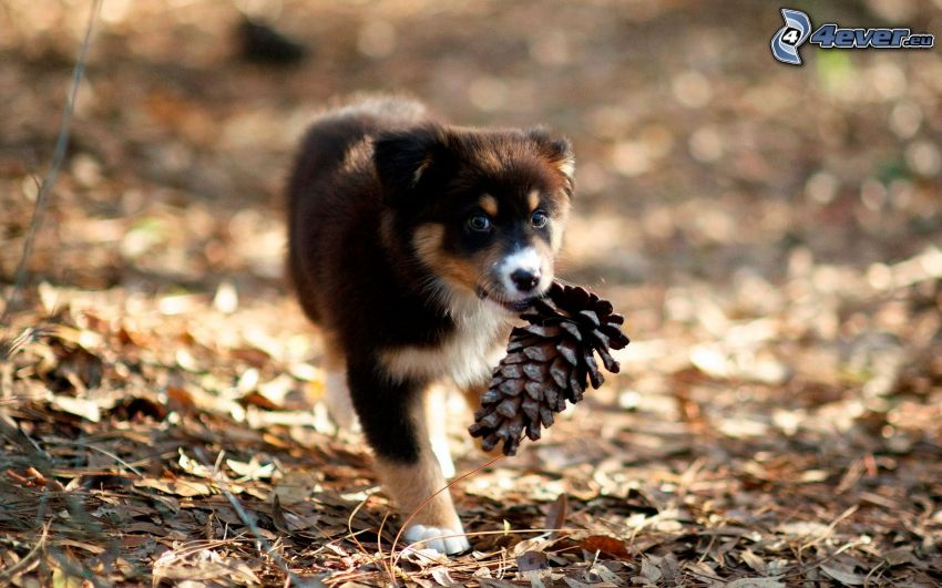 puppy, conifer cone