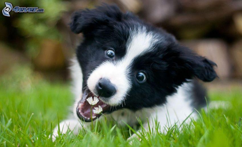 puppy, daisies