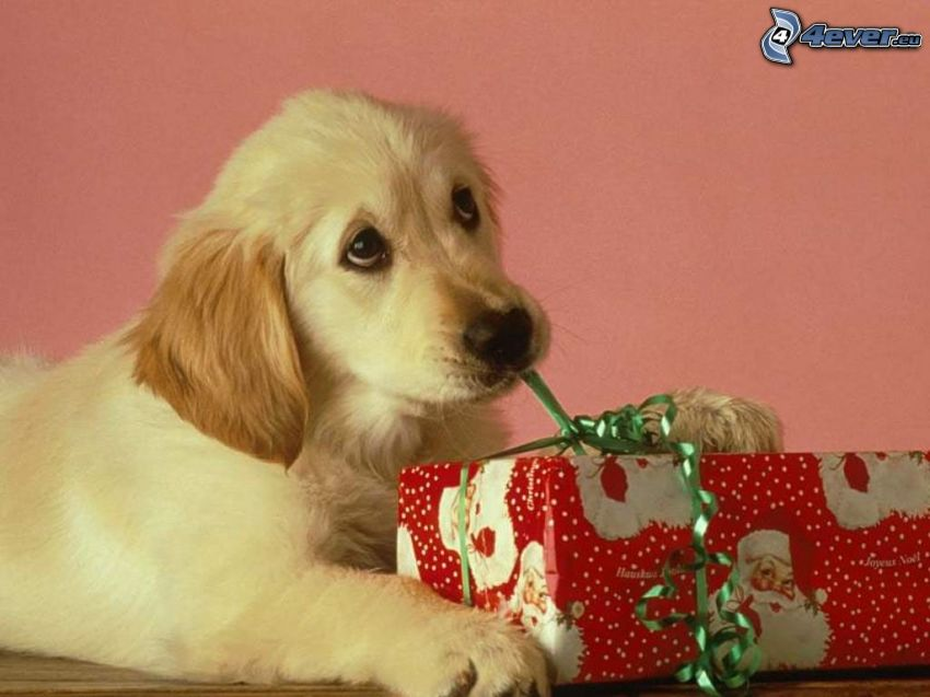 puppy, dog look, gift