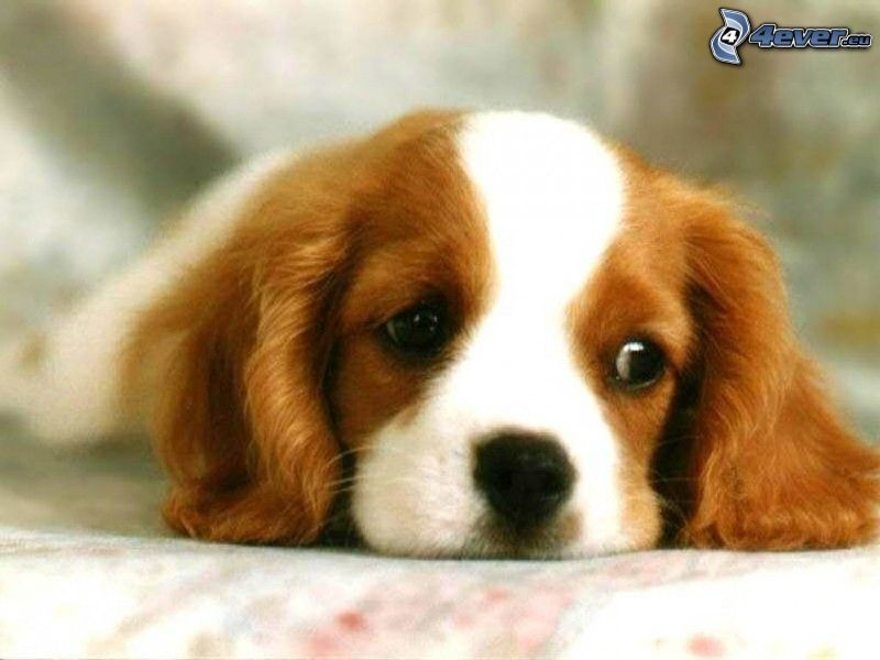 puppy, dog look