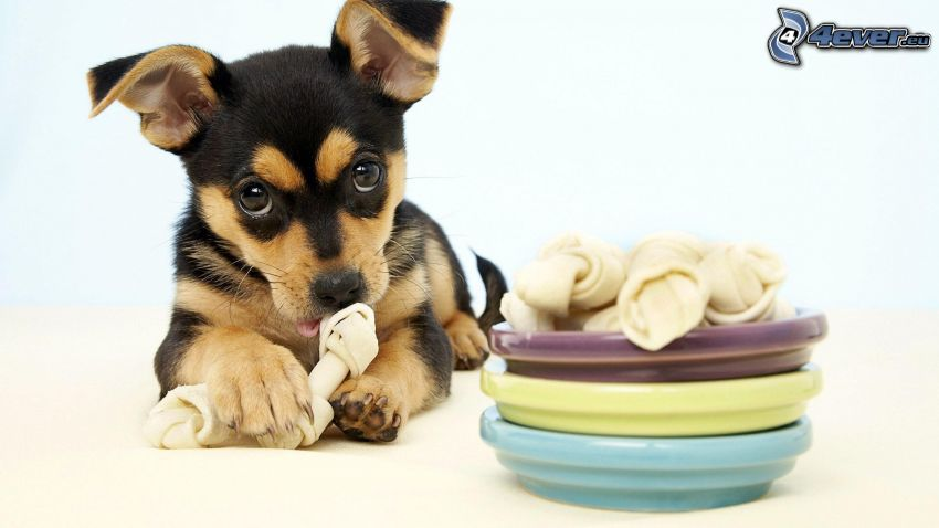 puppy, food
