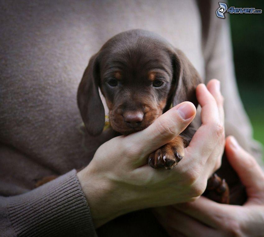 puppy, hands