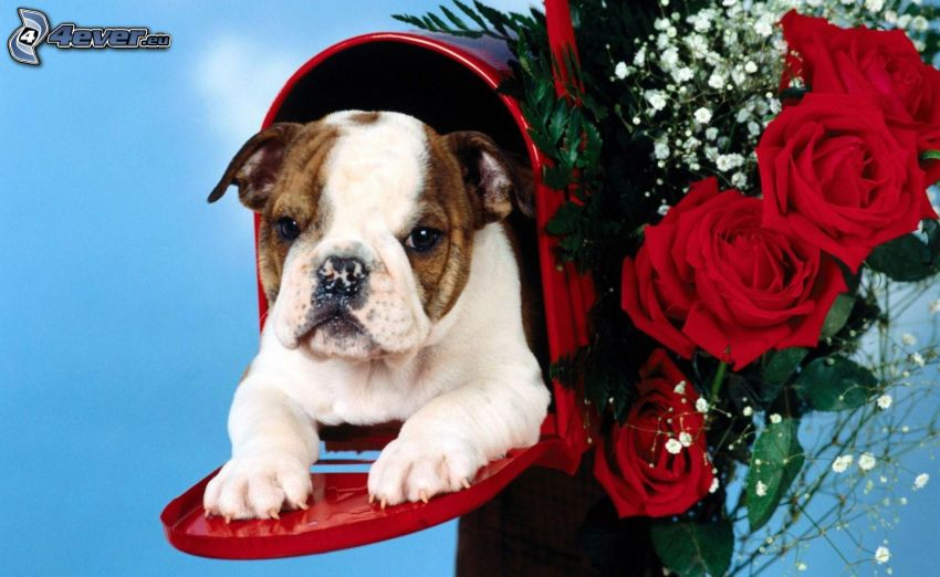 puppy, mailbox, red roses