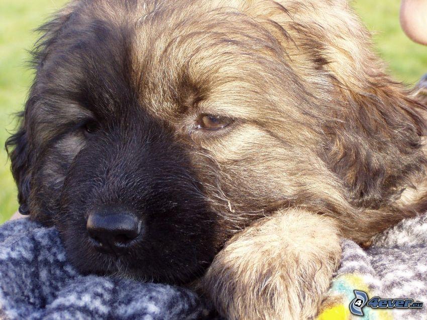 puppy, paw, eyes, sweater