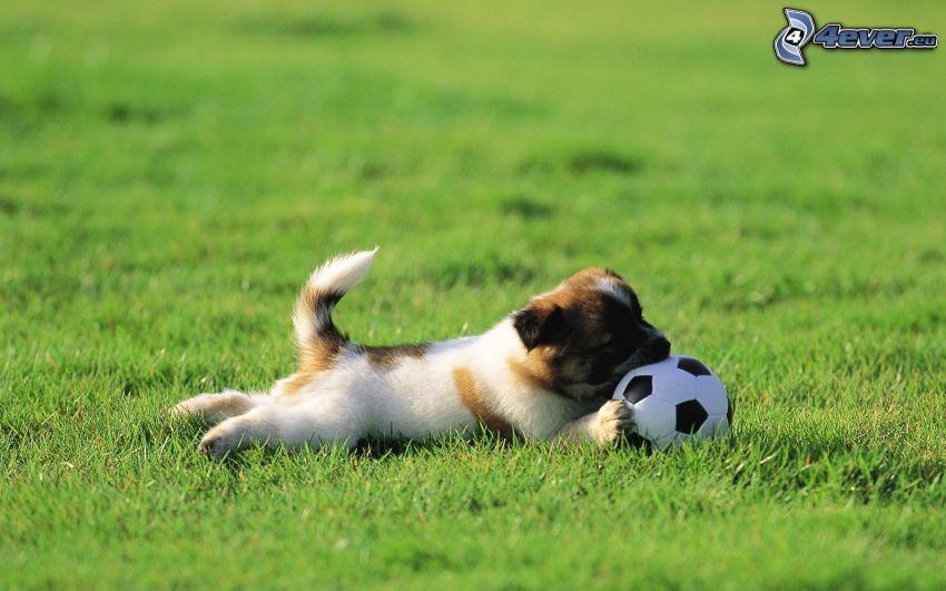 puppy, soccer ball, grass