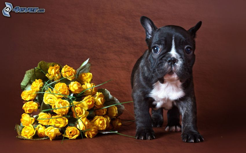 puppy, yellow roses