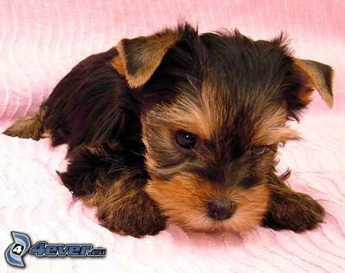 puppy, Yorkshire Terrier