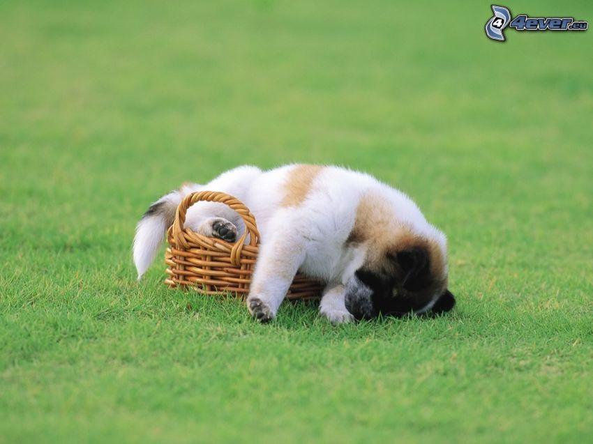 puppy in a basket, lawn