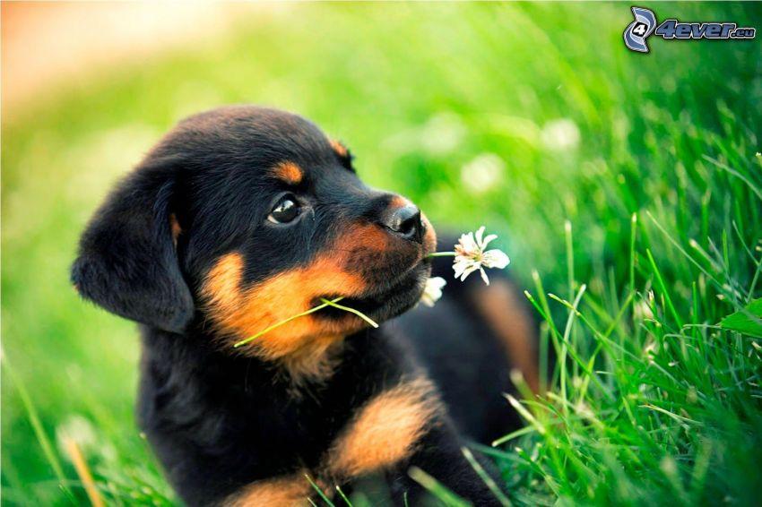 rottweiler, puppy, meadow