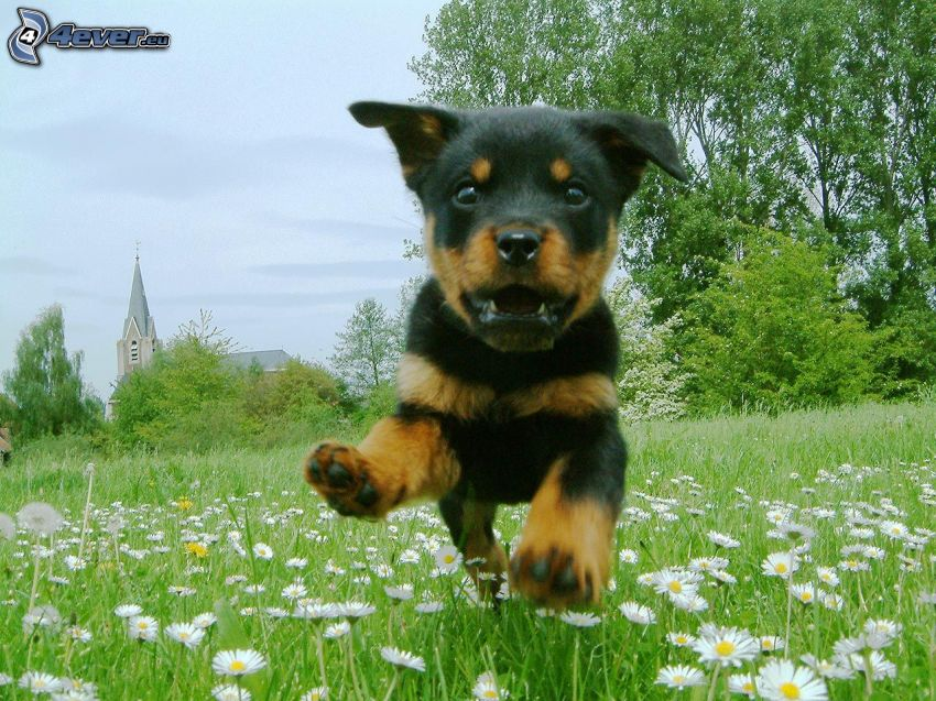 rottweiler, puppy, running, meadow, daisies