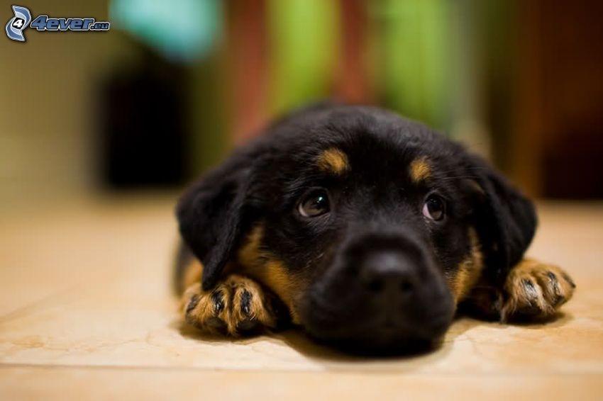 rottweiler, puppy