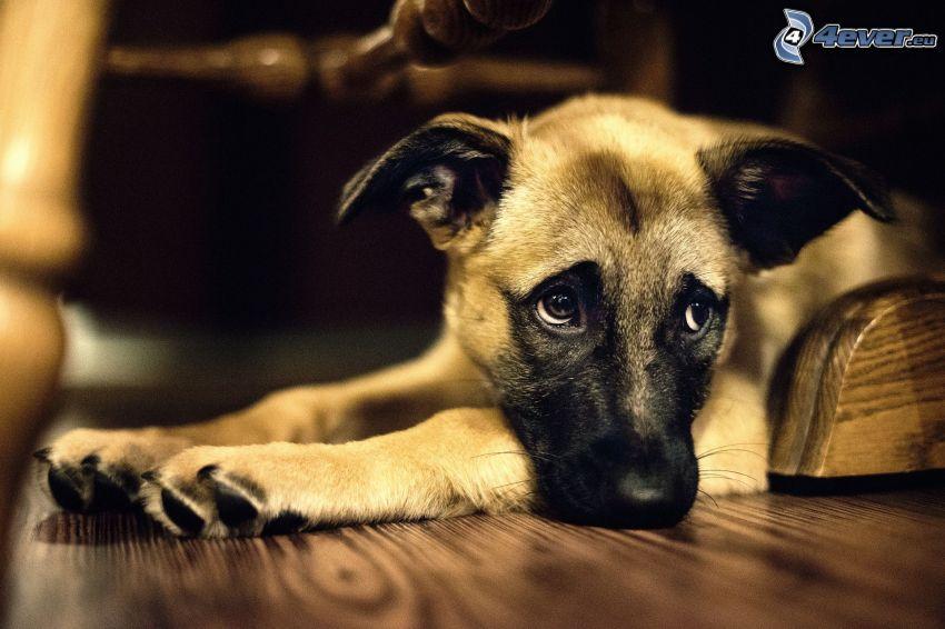 sad dog, wooden floor