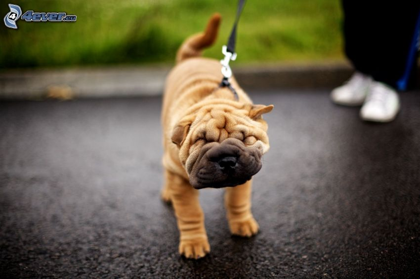 Shar Pei puppy, collar