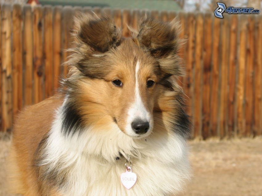 sheltie, pendant, heart