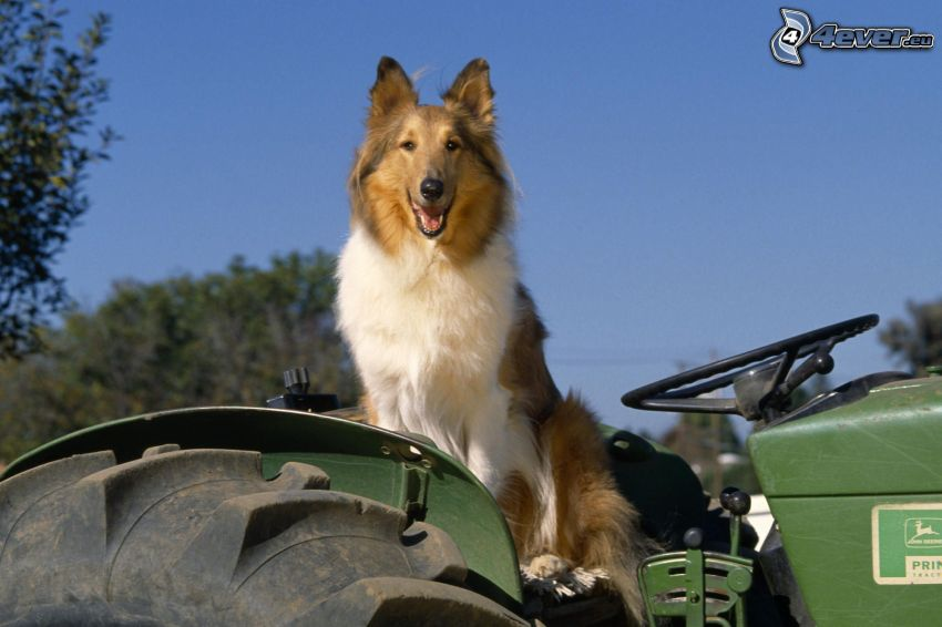 sheltie, tractor