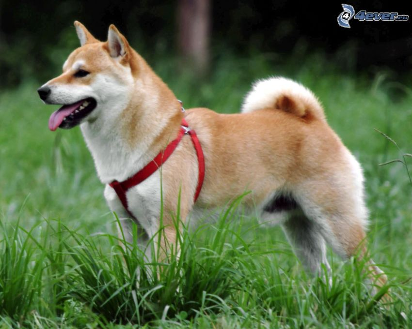 Shiba-inu, high grass, put out the tongue