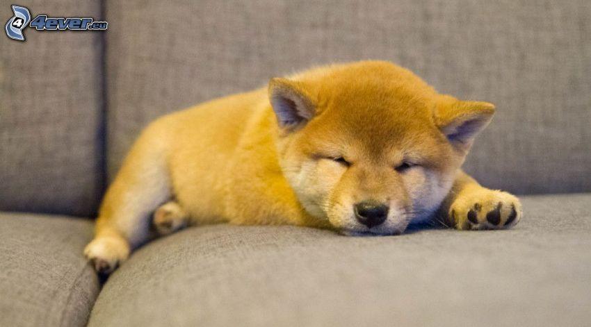 Shiba-inu, sleeping puppy