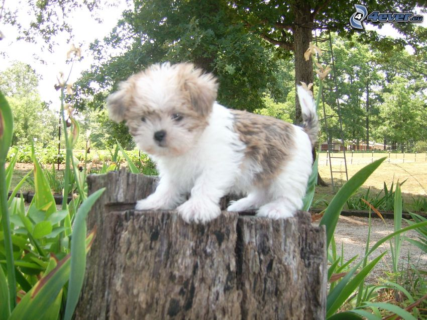 shih-tzu, park, stump, ladder