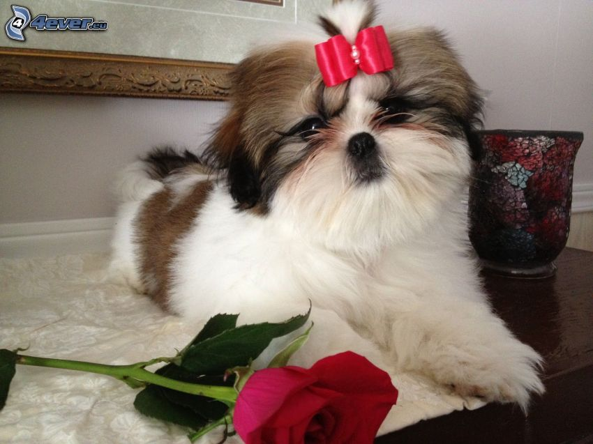 shih-tzu, red rose, ribbon
