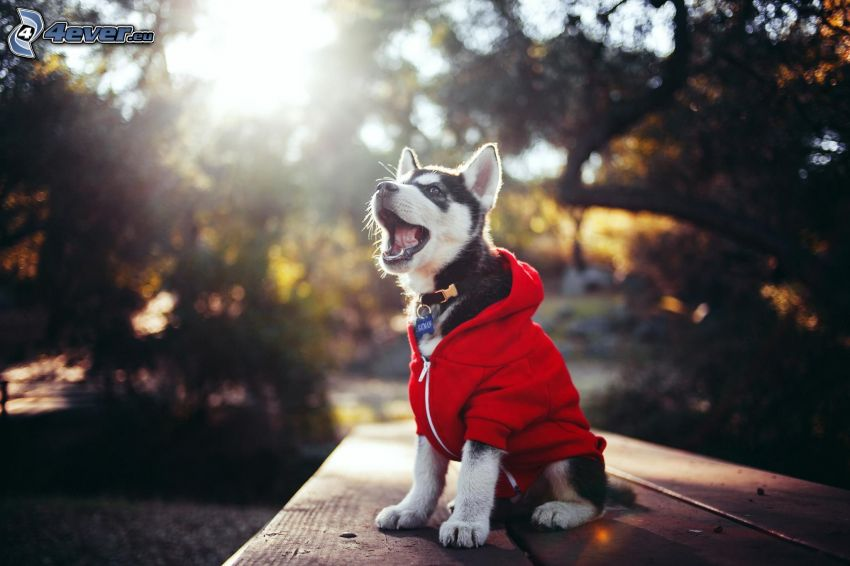 Siberian Husky, puppy, sweater, bench