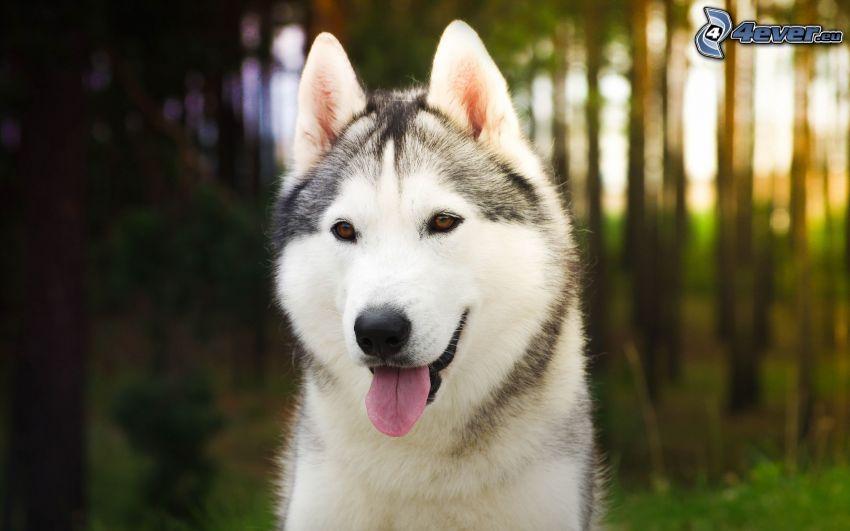 Siberian Husky, put out the tongue