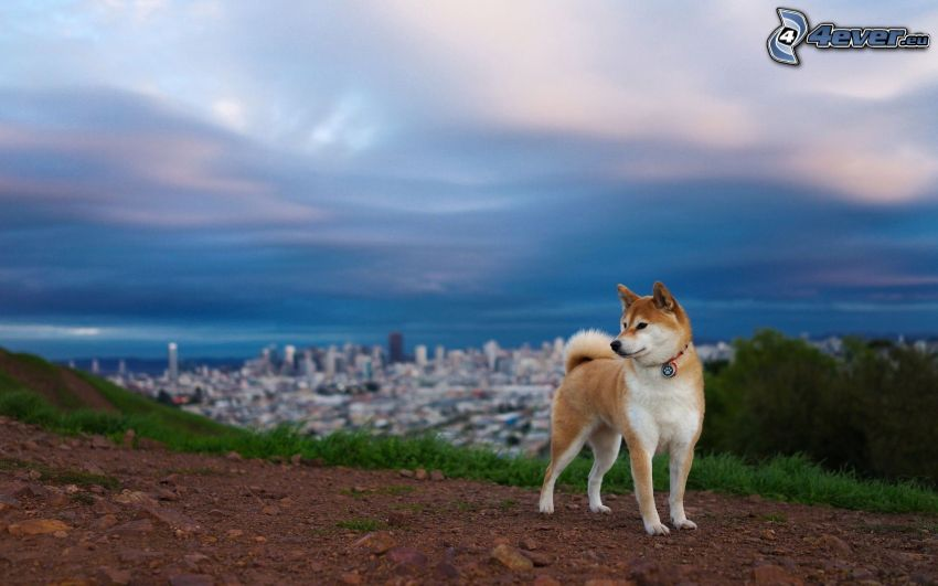 Siberian Husky, view of the city