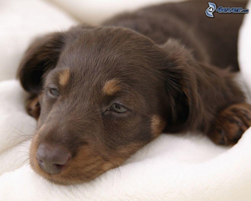 sleepy dachshund, puppy