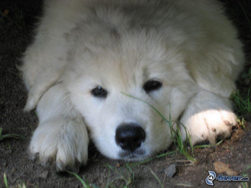 slovak cuvac, puppy
