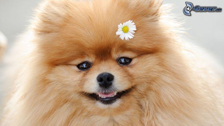 spitz, daisy