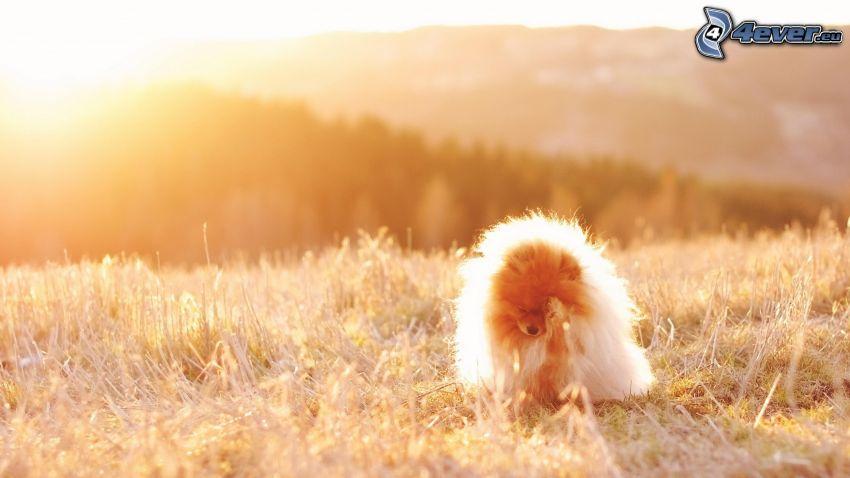spitz, puppy, sun