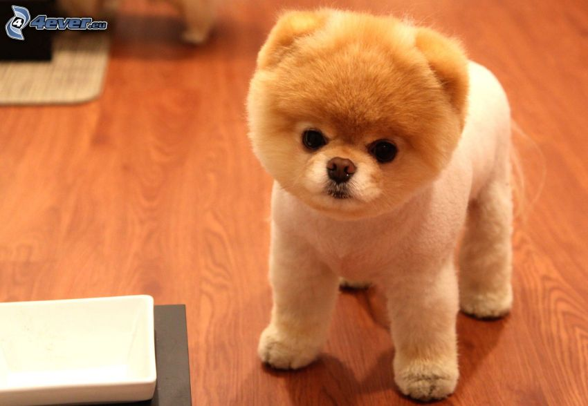 spitz, puppy