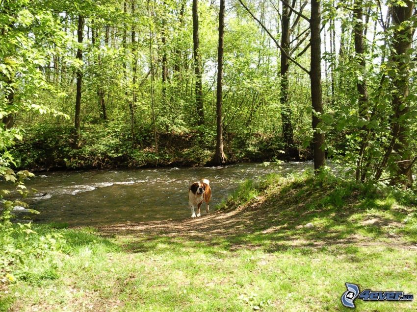 st. Bernard, forest, stream, greenery