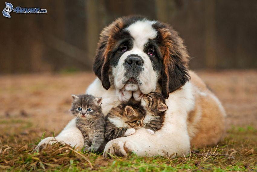 st. Bernard, kittens