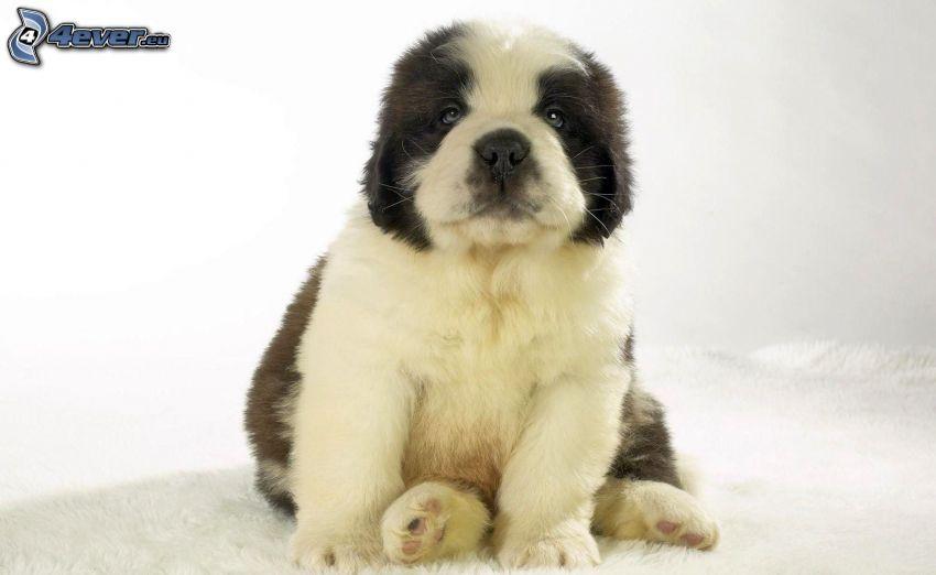 st. Bernard, puppy