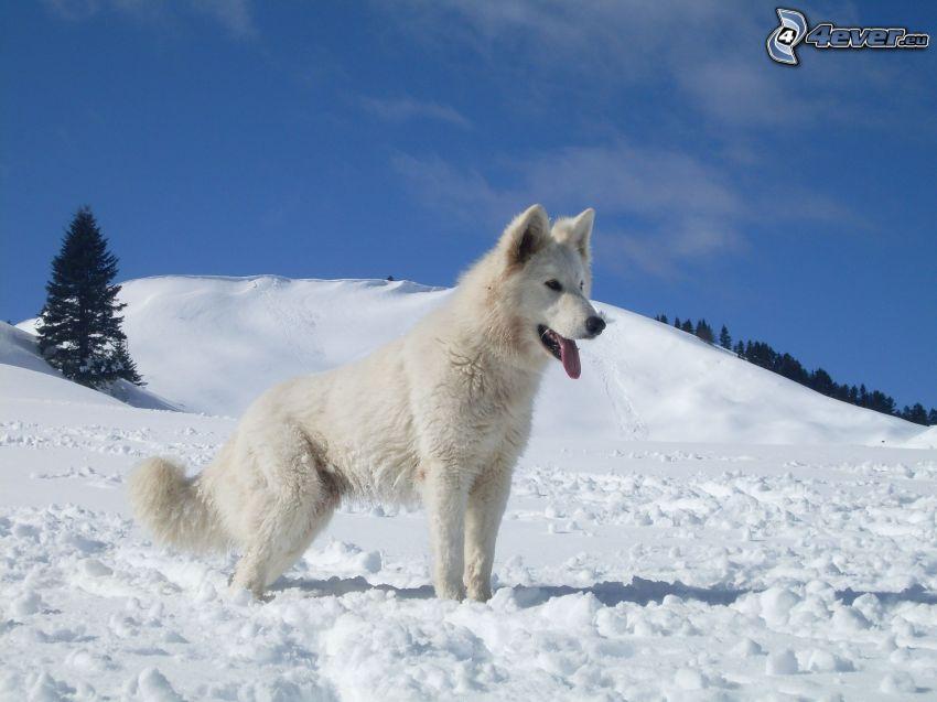 swiss shepherd, snow