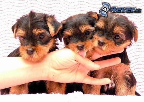 three puppies, terrier, hand