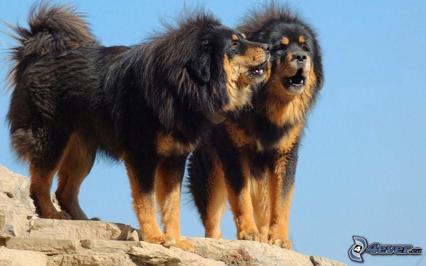 Tibetan mastiff, couple