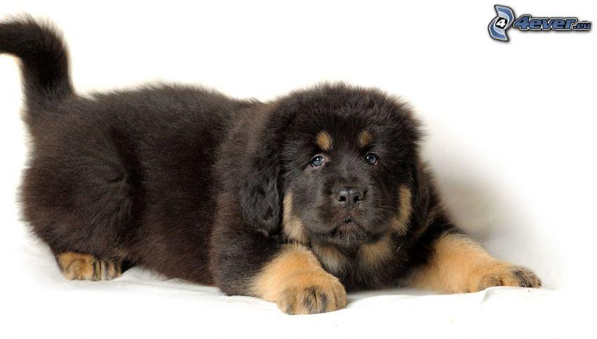 Tibetan mastiff, puppy